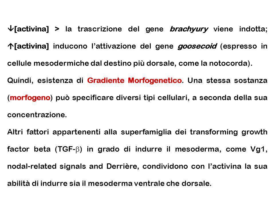 [activina] > la trascrizione del gene brachyury viene indotta; [activina] inducono l'attivazione del gene goosecoid (espresso in cellule mesodermiche dal destino più dorsale, come la notocorda).